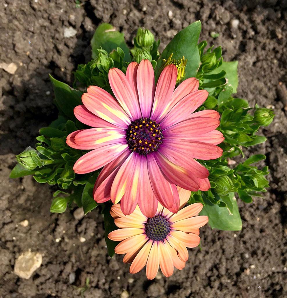 Flower Moson size