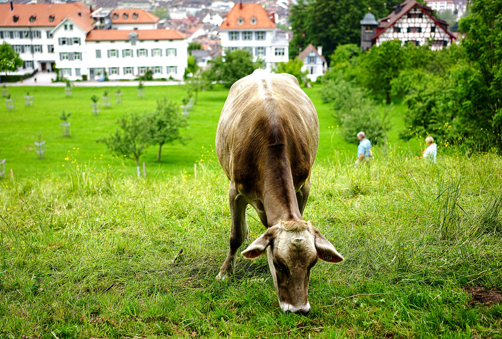 cow-st-gallen-size