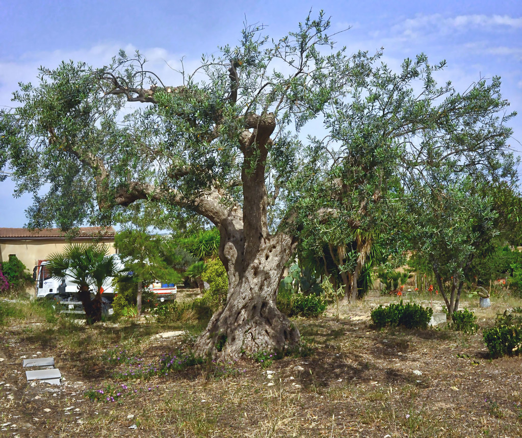 old-olivetree-size